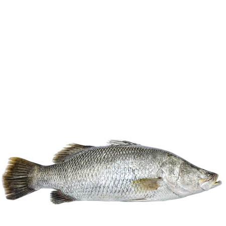 B.Koral